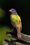 Painted Bunting posing